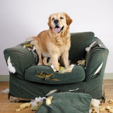 Golden retriever dog demolishes chair Royalty Free Stock Photos
