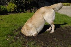 Golden Retriever dog digging hole royalty free stock photo