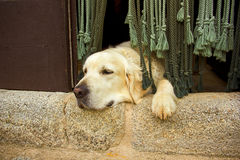 Golden retriever dog in the door Stock Photography