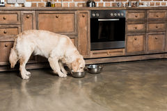Golden retriever dog eating from metallic bowls in the kitchen Royalty Free Stock Photos