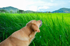 Golden retriever dog. Eating rice plant Stock Photo