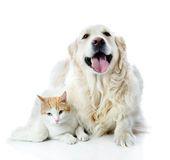 Golden retriever dog embraces a cat. Royalty Free Stock Photos