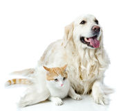 Golden retriever dog embraces a cat. royalty free stock photo