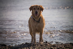 Golden Retriever Dog enjoy on the beach Stock Photo