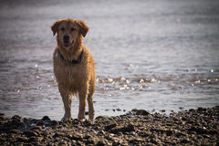 Golden Retriever Dog enjoy on the beach Stock Images