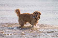 Golden Retriever Dog enjoy on the beach Royalty Free Stock Photo