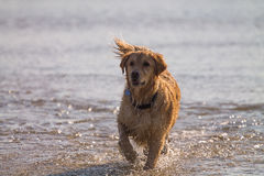 Golden Retriever Dog enjoy on the beach Royalty Free Stock Images