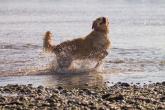Golden Retriever Dog enjoy on the beach Royalty Free Stock Photos