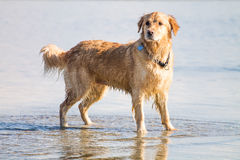 Golden Retriever Dog enjoy on the beach Royalty Free Stock Photography
