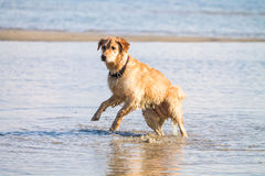 Golden Retriever Dog enjoy on the beach Stock Image