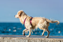 Golden Retriever dog enjoying summer Royalty Free Stock Image