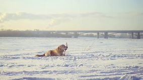 Golden retriever dog enjoying winter playing in the snow on sunny day runs with a stick in his mouth in slow motion. 1920x1080. hd stock video
