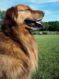 Golden Retriever dog face tongue park Royalty Free Stock Image