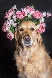 Golden Retriever dog in a flower crown, black background. Golden Retriever dog in a flower crown, looking at the camera Royalty Free Stock Photography