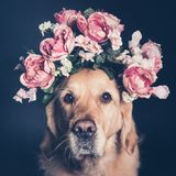 Golden Retriever dog in a flower crown, filter. Golden Retriever dog in a flower crown, looking at the camera, square format Stock Photos