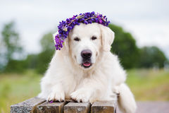 Golden retriever dog in a flower crown Stock Images