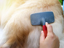 Golden retriever dog getting hair care royalty free stock photo