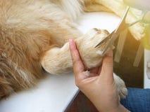 Golden retriever dog getting hair cut stock images