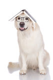 Golden retriever dog in glasses with a book Royalty Free Stock Photos