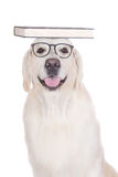Golden retriever dog in glasses with a book Stock Photos