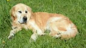 Golden retriever dog on green grass lying restlessly stock footage