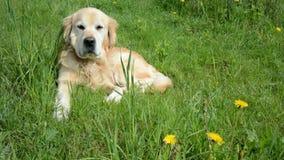 Golden retriever dog on green grass stock footage