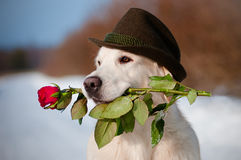 Golden retriever dog in a hat holding a rose Stock Images