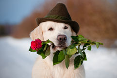 Golden retriever dog in a hat holding a rose Royalty Free Stock Photography