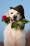 Golden retriever dog in a hat holding a rose Royalty Free Stock Photo