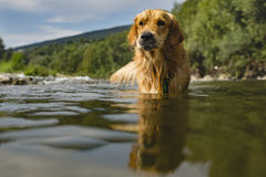 Golden retriever dog having good time in the river , summer time Royalty Free Stock Photos