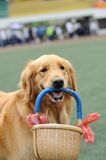 Golden retriever dog holding basket Royalty Free Stock Images