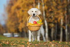 Golden retriever dog holding a basket outdoors in autumn Stock Images