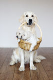 Golden retriever dog holding a basket with puppies Royalty Free Stock Image