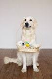 Golden retriever dog holding a basket with a puppy Royalty Free Stock Photos