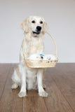 Golden retriever dog holding a basket with puppy Stock Photos