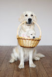 Golden retriever dog holding a basket with puppy Stock Photo