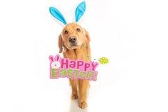 Golden Retriever Dog holding Easter Sign Stock Photo