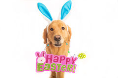 Golden Retriever Dog holding Easter Sign Royalty Free Stock Photo