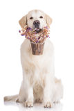 Golden retriever dog holding a flower pot Stock Photo