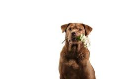 Golden retriever dog holding flower royalty free stock photo