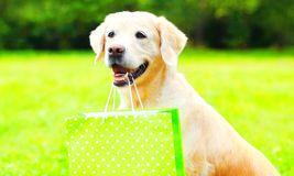 Golden Retriever dog is holding a green shopping bag in the teeth. On a grass on a summer day stock photography