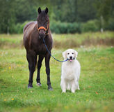 Golden retriever dog holding a horse on a leash Royalty Free Stock Image