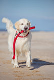 Golden retriever dog holding a leash Royalty Free Stock Image