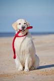 Golden retriever dog holding a leash Stock Images