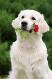 Golden retriever dog holding a rose in her mouth Royalty Free Stock Photo