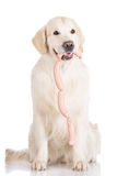 Golden retriever dog holding sausages Royalty Free Stock Photo