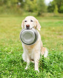 Golden Retriever dog holding in teeth bowl on grass Stock Images