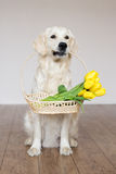 Golden retriever dog holding tulips Royalty Free Stock Images