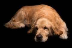 Golden Retriever dog isolated on black Stock Photo