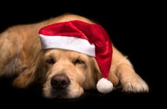 Golden Retriever dog isolated on black Stock Image